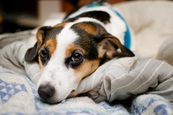cane-malattia