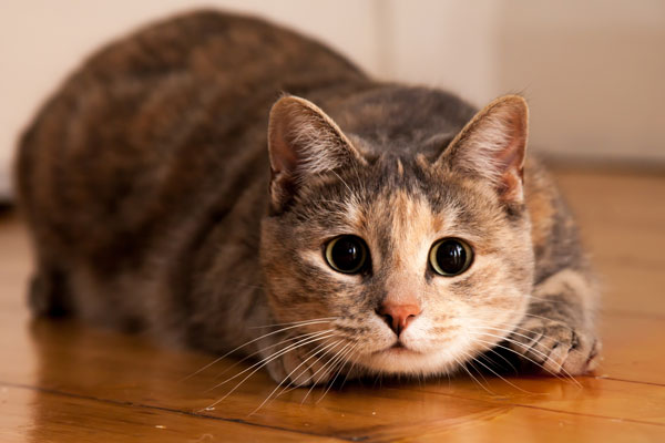 sterilizzazione-gatto