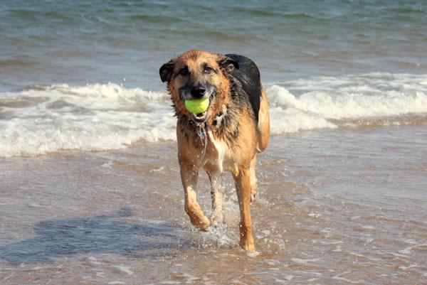 pastore-tedesco-in-spiaggia