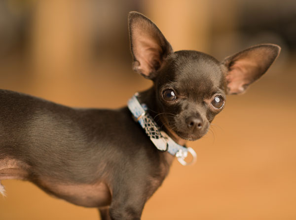Chihuahua-malato
