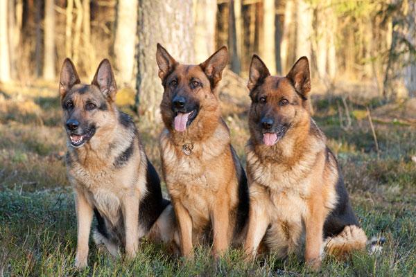 pastori-tedeschi