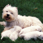 West-Highland-Terrier