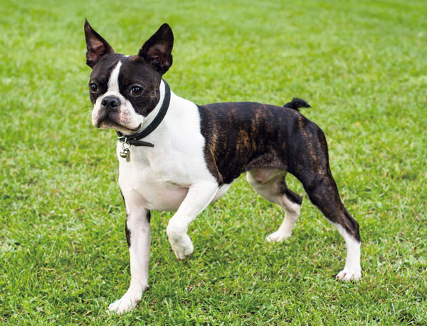 Boston Terrier: l'amer...
