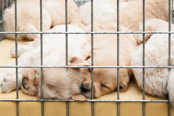 traffico-cuccioli