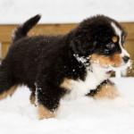 cucciolo-con-displasia