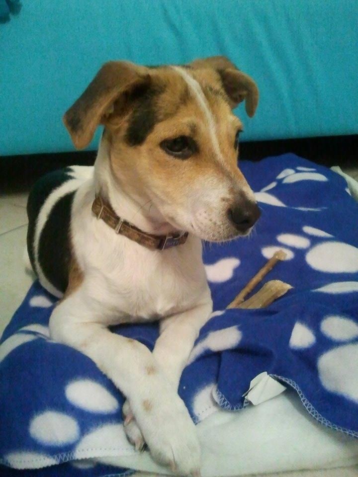 Conosciuto Adozione cane: incrocio Beagle-Jack Russel, 4 mesi | Quattro Zampe BI61