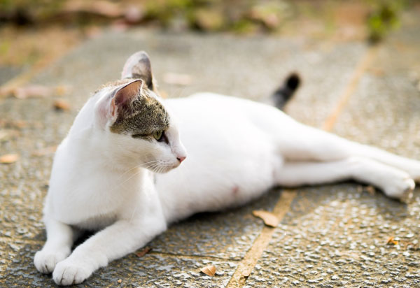 gravidanza-gatto