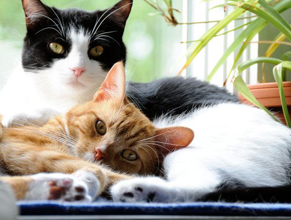 convivenza-tra-gatti