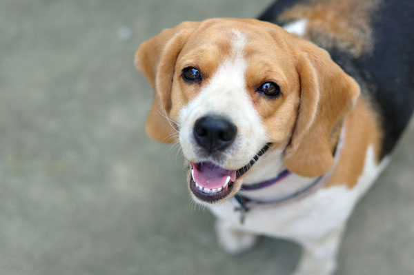 beagle_spaventato