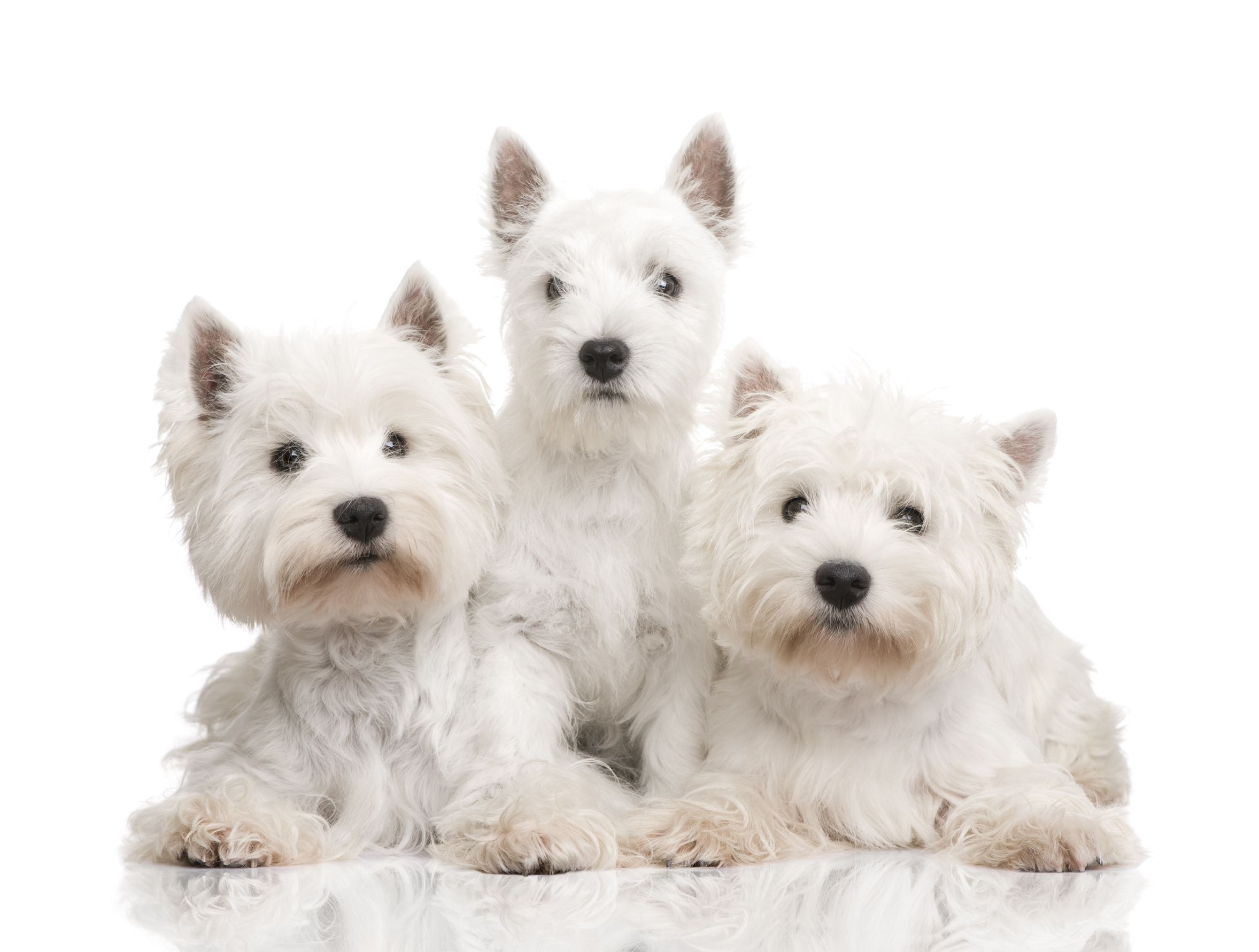 Westie Related Keywords & Suggestions - Westie Long Tail ...