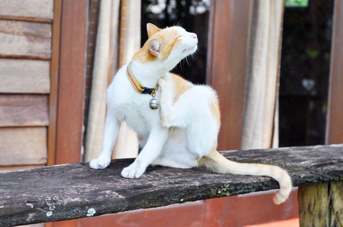 La dermatite estiva del gatto
