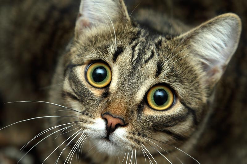 Gli occhi del gatto quattro zampe for Gatti con occhi diversi