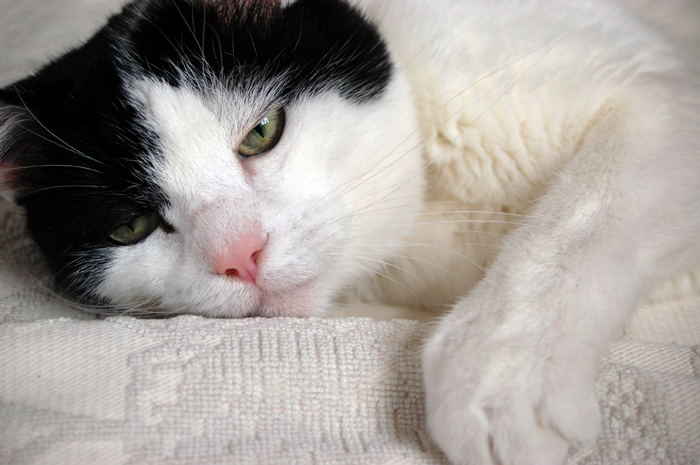 Cosa fare se un gatto anziano perde l'appetito?