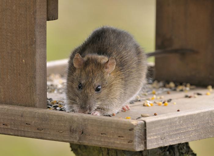 Il ratto è un ottimo animale da compagnia