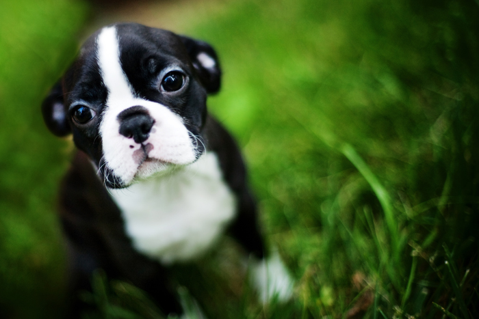 Cucciolo di boston terrier