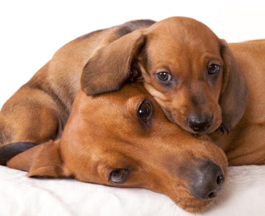 Alimentazione dei cani in gravidanza