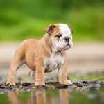 Cucciolo di Bulldog