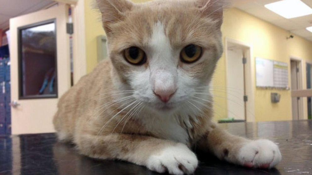 Buttercup, il gatto che è stato salvato con una trasfusione di sangue di un cane