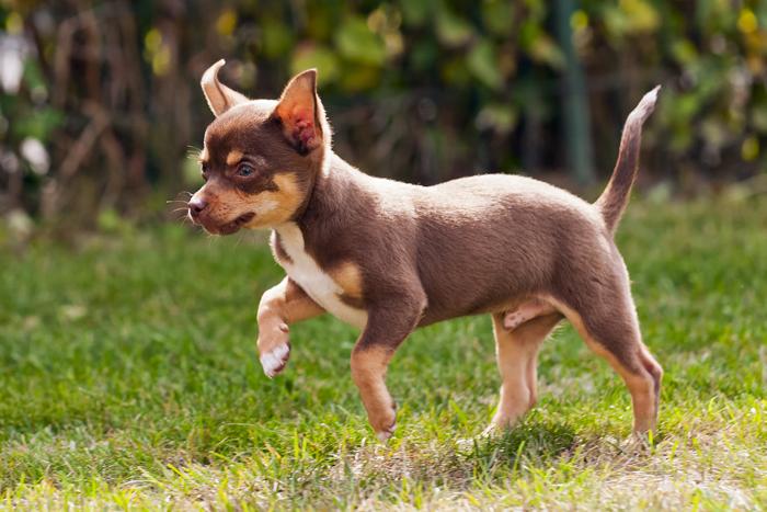 Hill s science plan small miniature la pappa perfetta for Marsupio per cani di piccola taglia