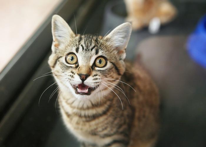 Comunicazione vocale dei gatti