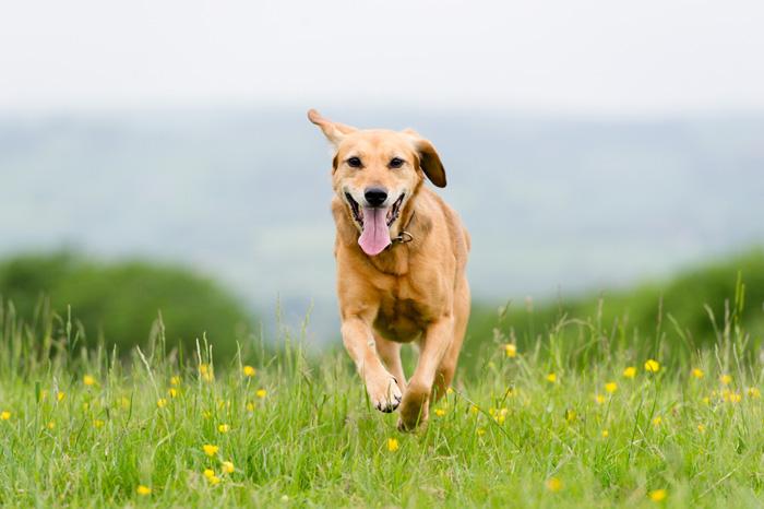 Cane che corre nel prato