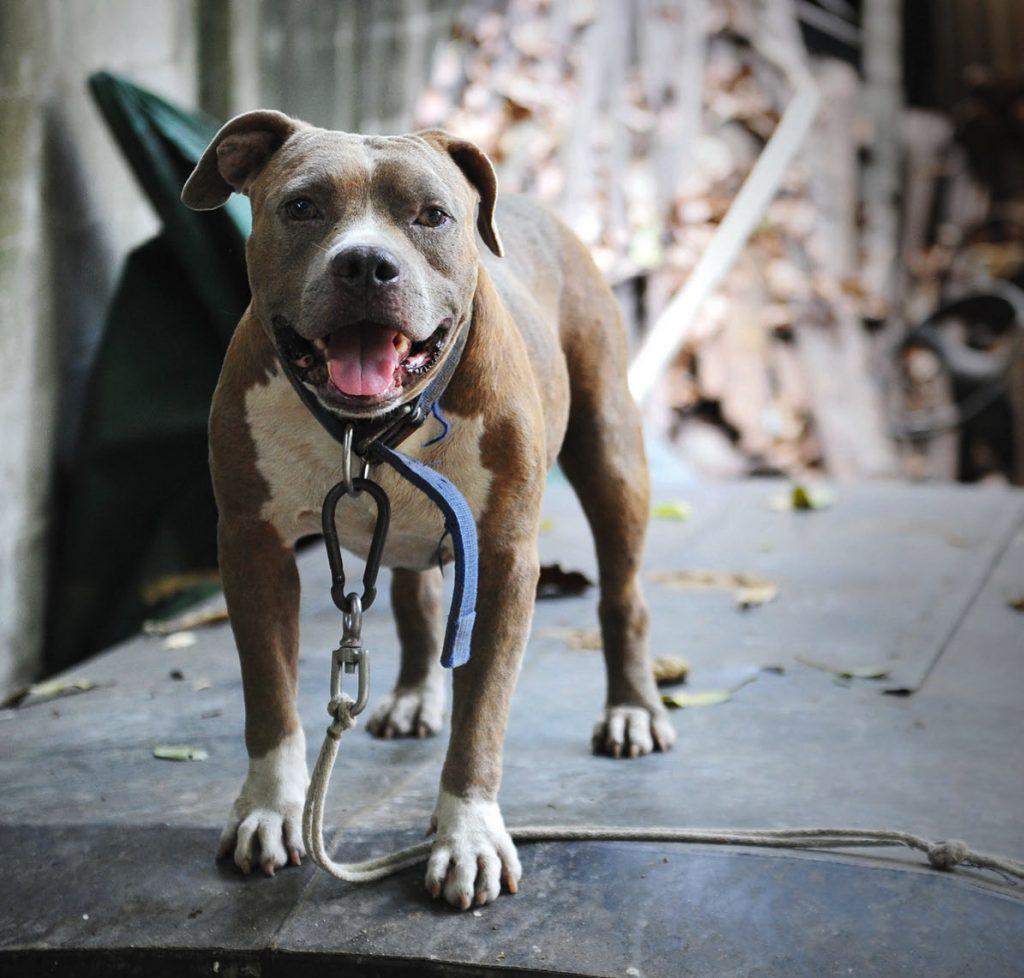 Enpa: nuova vita ai cani da combattimento