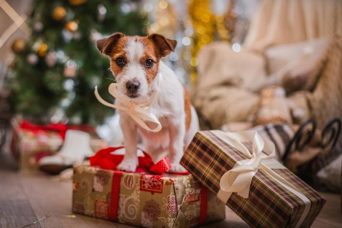 Jack Russel tra i regali di Natale