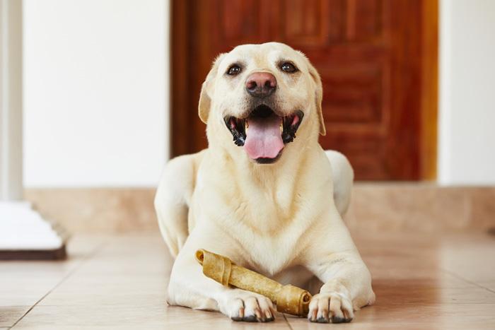 Labrador in casa