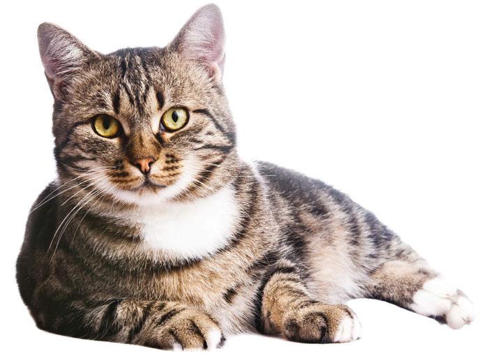 Gatto tigrato