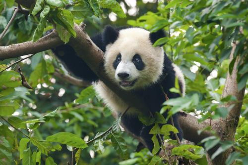 I panda sempre meno in pericolo, ma ancora a rischio