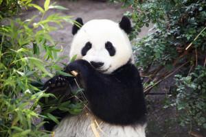 Panda crescono del 17 percento