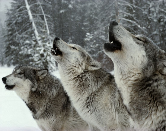 Lupi europei non più a rischio estinzione