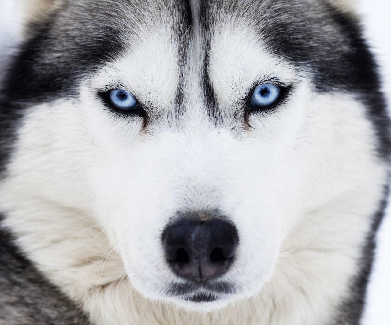 Husky il primitivo dagli occhi di ghiaccio quattro zampe - Cane occhi azzurri ...