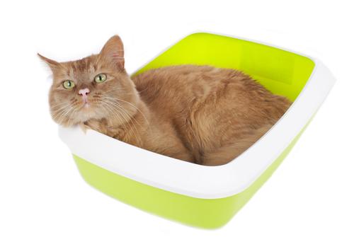 comportamento gatti pipì