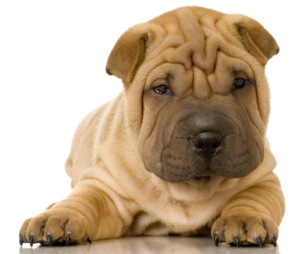 Shar Pei Dog Rescue Illinois
