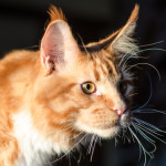 Maine-Coon (3)