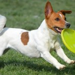 Tinkerbell il Jack Russell Terrier