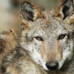 Incontrare-un-lupo (1)