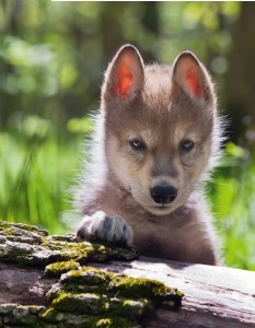 Incontrare-un-lupo (3)