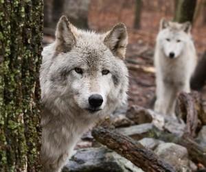 Incontrare-un-lupo (4)