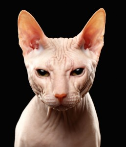 Sphynx gatto glabro