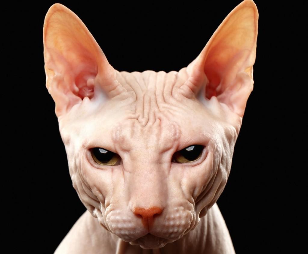 Sphyx gatto nudo