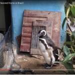 Dindim il pinguino che torna