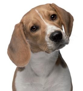 Beagle-Day-1