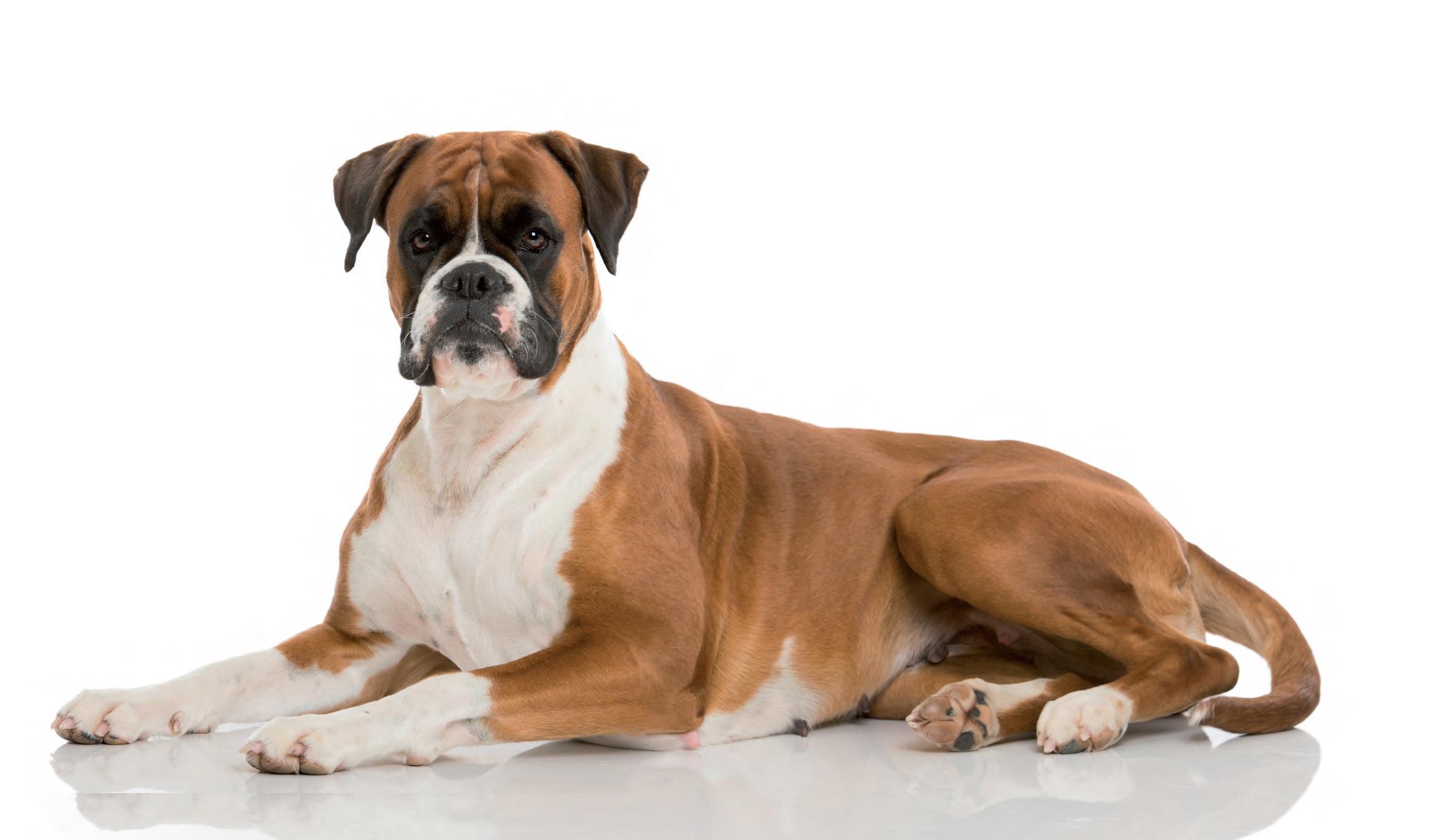 Boxer Dog Photos For Sale