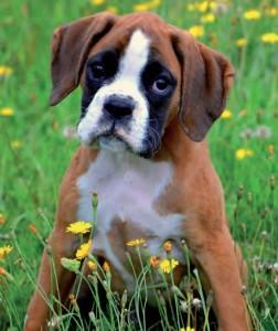 Boxer (9)