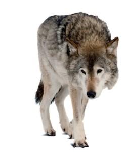 lupi (2)