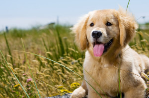 Leishmaniosi canina