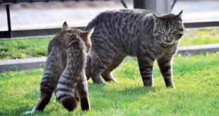 Immunodeficienza felina