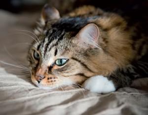 gatto-che-soffre-d'ansia (4)